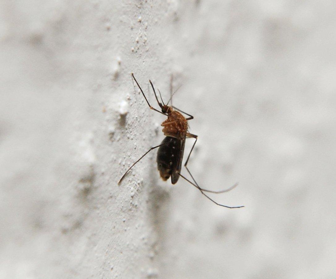 mosquito-1363671
